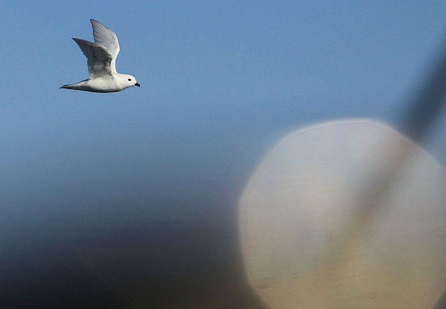 Snow Petrel i ksiezyc_Fot.T.Lopata_SelmaExpeditions.com
