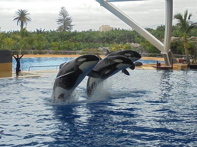Orki w Loro Parque